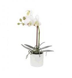 Lumivalge orhidee